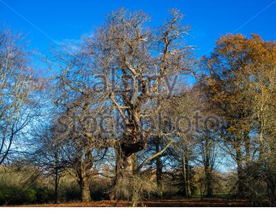 Old sweet chestnut tree, Castanea sativa, with bare winter branches against a blue sky - Stock Photo