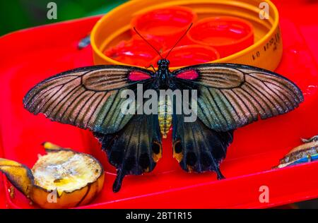 beautiful closeup of a common mormon butterfly, colorful tropical insect specie from Asia - Stock Photo