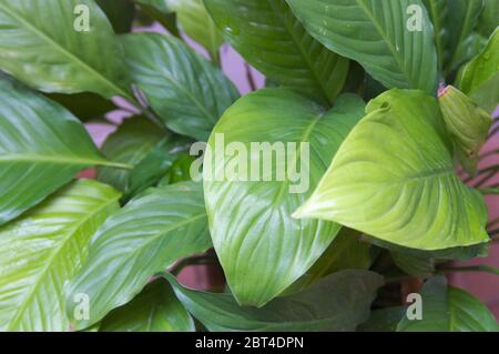 Close-up of the green and yellowish leaves of a peace lily plant (Spathiphyllum) - Stock Photo