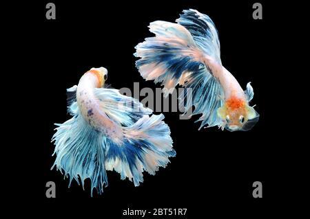 Two betta fish swimming in an aquarium - Stock Photo