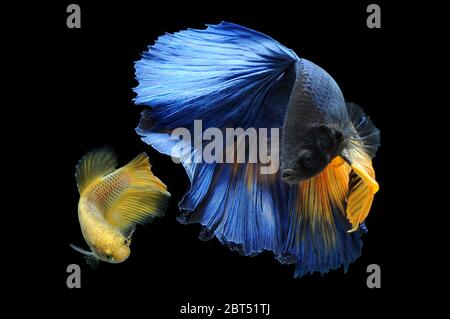 Two betta fish swimming in an aquarium - Stock Photo