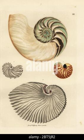 Cross-section through chambered nautilus shell, Nautilus pompilius (Nautilus crassus) 1, small nautilus, Nautilus pompilius suluensis 2, greater argonaut with narrow keel, Argonauta argo (Nautilus papyraceus) 3, and greater argonaut with broad keel 4. Handcoloured copperplate engraving by Georg Wolfgang Knorr from his Deliciae Naturae Selectae of Kabinet van Zeldzaamheden der Natuur, Blusse and Son, Nuremberg, 1771. - Stock Photo