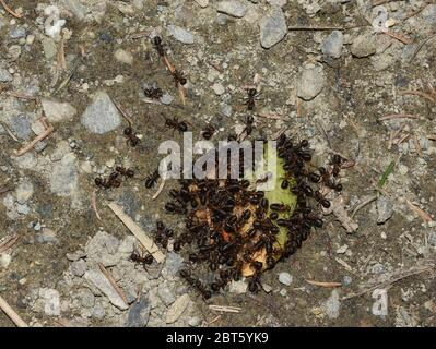 Big group red wood ant Formica rufa gathering round a piece of apple working Stock Photo