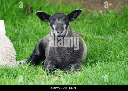 Baby Black Lamb Sitting on Green Grass - Stock Photo