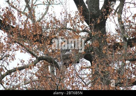 Pair of  White-faced heron nesting in a tree at Castlemaine, Victoria - Stock Photo