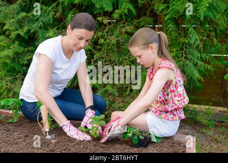 Mother and daughter planting young lettuce seedlings in the vegetable garden - Stock Photo
