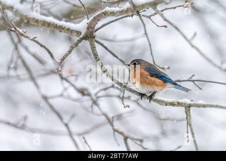 Brown female bluebird blue one bird sitting perching on tree during winter snow on bare branch in Virginia closeup - Stock Photo