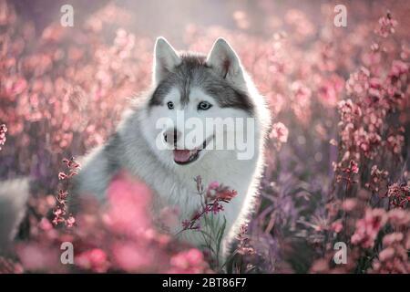 Beautiful portrait of a Siberian Husky in flowers.