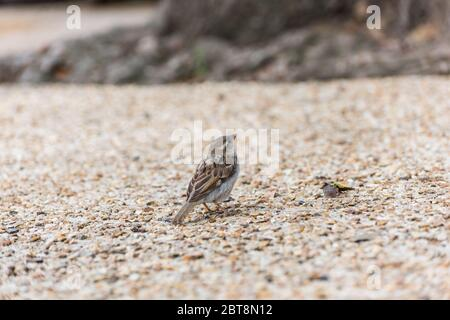 House sparrow, a bird of the sparrow family Passeridae found in Paris, France. - Stock Photo