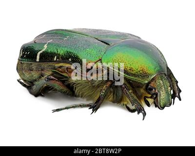 green rose chafer, cetonia aurata, beetle isolated on white background, detail macro shot, close up - Stock Photo