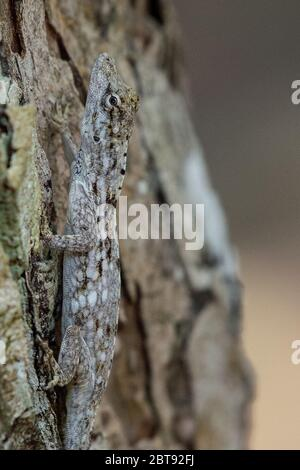 Pacific Lichen Anole, Anolis charlesmyersi, Dactyloidae, Carate Beach,  Corcovado National Park; Osa Peninsula; Costa Rica; Centroamerica - Stock Photo