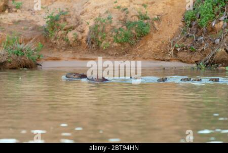 Group of Capybaras swimming in the river, South Pantanal, Brazil. - Stock Photo