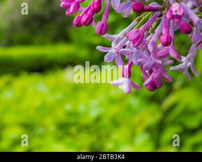 Branches with inflorescences of blooming lilac in the garden in the afternoon in spring. Heavily blurred background. Macrophoto. Copy space. - Stock Photo
