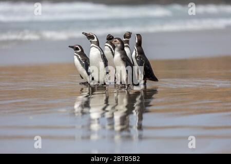 Magellanic Penguin; Spheniscus magellanicus; Group on the Beach; Falklands