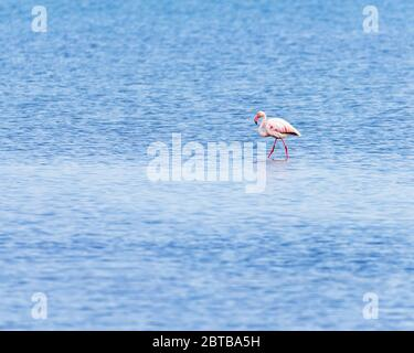 Beautiful Single Flamingo stay in the Water of the Delta del Ebro, Catalunya, Spain - Stock Photo