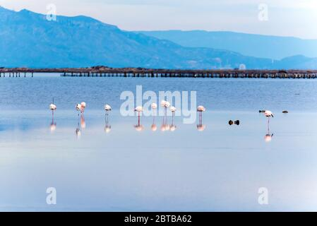 Beautiful Flamingos stay in tranquil Water with reflacion at the Delta del Ebro, Catalonia, Spain. - Stock Photo