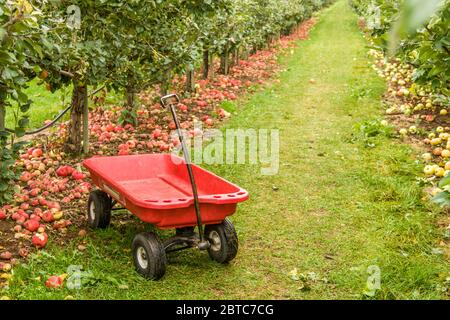 Red wagon beside fallen Honeycrisp apples near Hood River, Oregon, USA.  The wagon awaits the people doing u-pick to select their apples and haul them - Stock Photo
