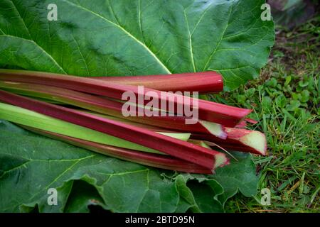 Freshly harvested stalks and leaves of rhubarb lying on a lawn outdoors in close up low angle - Stock Photo