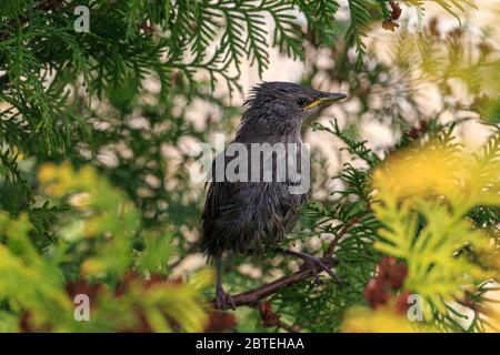 An European starling feeding its chick in the nest in the hollow of a tree (Sturnus vulgaris, Family Sturnidae)