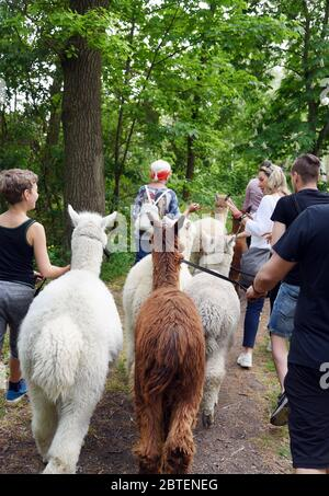 Kahnsdorf, Germany. 09th May, 2020. A first hike this year with the alpacas of Diana Gröhmann from the Alpaca-Shop Leipziger Land can be enjoyed by a family from Halle/Saale at the Hainer See in Kahnsdorf if the weather is fine. The excursions with the self-bred two to eight year old Suri and Huacaya alpacas are normally offered all summer for up to 15 children or adult groups, but are now limited to small groups due to Corona. Credit: Waltraud Grubitzsch/dpa-Zentralbild/ZB/dpa/Alamy Live News - Stock Photo