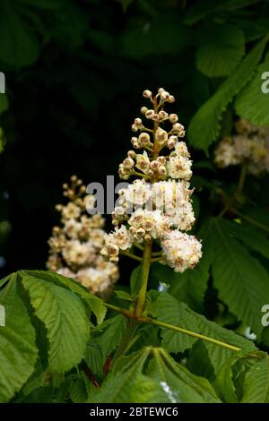 The Horse-chestnut can flower abundantly with a mass of creamy white panicles made up of 40 to 50 5 petalled pink spotted white flowers. Stock Photo