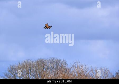 Common buzzard (Buteo buteo) flying in the air - Stock Photo