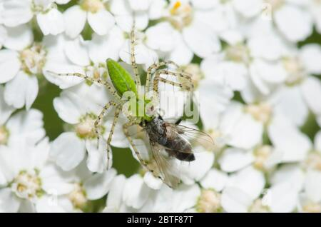 Green Lynx Spider, Peucetia viridans, feeding on captured tachinid fly, Family Tachinidae, on yarrow, Achillea millefolium - Stock Photo