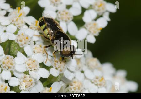 Soldier Fly, Psellidotus sp., foraging on yarrow, Achillea millefolium - Stock Photo