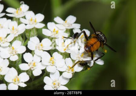 Feather-legged Fly, Trichopoda sp., foraging on yarrow, Achillea millefolium - Stock Photo