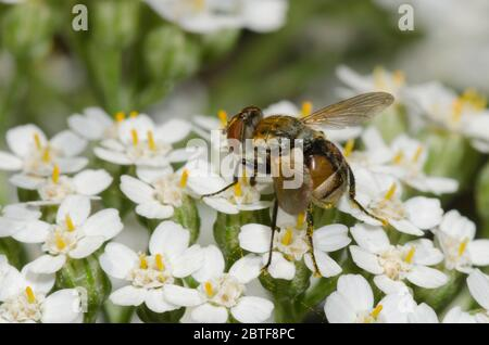 Tachinid Fly, Gymnoclytia sp., foraging on yarrow, Achillea millefolium - Stock Photo