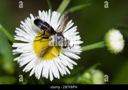 Tachinid Fly, Cylindromyia sp., foraging on Fleabane, Erigeron sp. - Stock Photo
