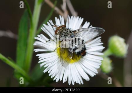Tachinid Fly, Archytas marmoratus, foraging on Fleabane, Erigeron sp. - Stock Photo