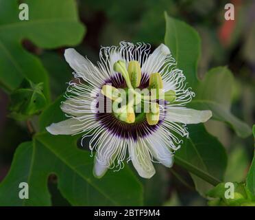 Beautiful Passion Fruit Flower - Stock Photo