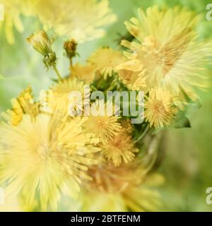 Blurred floral background, double exposure, colorful yellow dandelions. Concept of spring, holidays