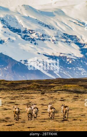 Reindeer, Rangifer tarandus, introduced to Iceland from Norway from 1771 to 1787, and now thriving along the Southeast Coast of Iceland, with Öræfajök - Stock Photo