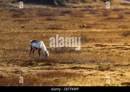 During the winter months, Reindeer, Rangifer tarandus, come down from the mountains to feed in the lowlands along the South Coast of Iceland - Stock Photo
