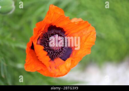 Mohnblume, Poppy - Stock Photo