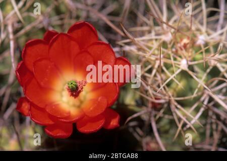 Claret cup cactus, Joshua Tree National Park, California