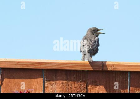 A young Starling (Sturnus vulgaris) bird perched on top of a brown garden fence set against a clear blue sky. - Stock Photo
