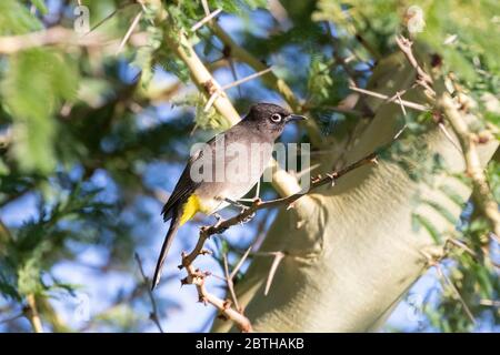 Cape Bulbul (Pycnonotus capensis) perched in  a Fever Tree (Vachellia xanthophloea),  Western Cape, South Africa - Stock Photo