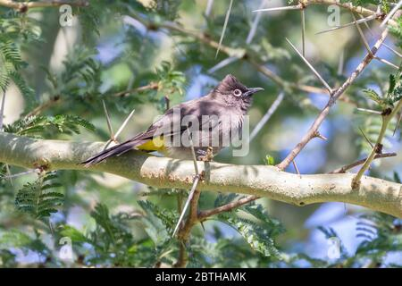 Cape Bulbul (Pycnonotus capensis) perched in  a Fever Tree (Vachellia xanthophloea),  Western Cape, South Africa in autumn - Stock Photo