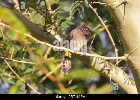 Cape Bulbul (Pycnonotus capensis) perched in a Fever Tree (Vachellia xanthophloea) in autumn, Breede River Valley, Western Cape, South Africa - Stock Photo