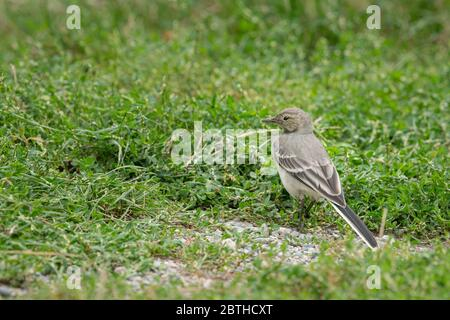 A juvenile white wagtail (Motacilla alba) in a meadow, South Tyrol (Italy) - Stock Photo
