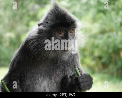 a beautiful Silver Leaf Monkey eating its lunchtime snack - Stock Photo