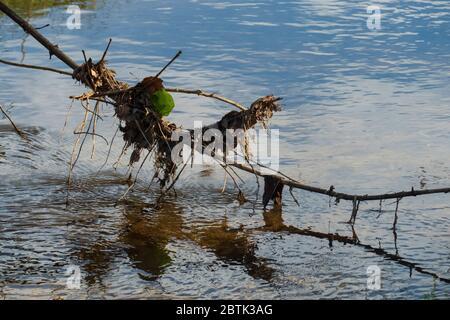 Blätter und Getrüpp sammelt sich an einem Ast der im Wasser hängt