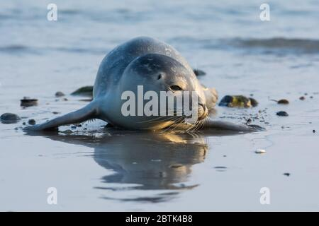 Common seal known also as Harbour seal, Hair seal or Spotted seal (Phoca vitulina) is a non-migratory mammal, earless seal from family Phocidae. - Stock Photo