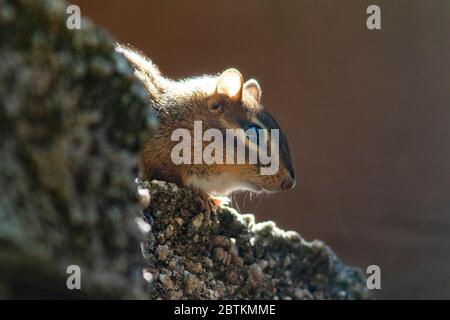 Eastern Chipmunk (Tamias striatus) peeking out of rocks - Brevard, North Carolina, USA - Stock Photo