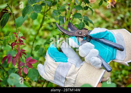 Pruning roses in the garden, gardener's hands with secateurs - Stock Photo