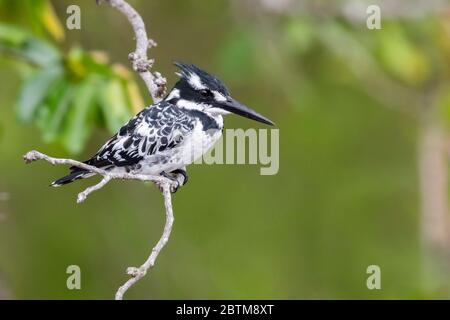 Pied Kingfisher (Ceryle rudis), adult female perched on a branch, Mpumalanga, South Africa - Stock Photo