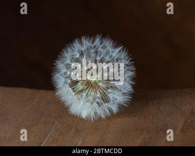 Dandelion Flower Weed Close Up Photograph in Photography Studio Portrait Essex England - Stock Photo